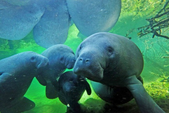 CLOSE ENCOUNTERS WITH MANATEES